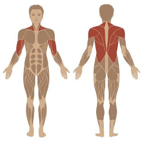 Klimmzug-Training beanspruchte Muskelgruppen